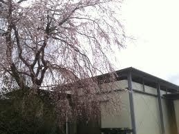 0408_sakura.jpg